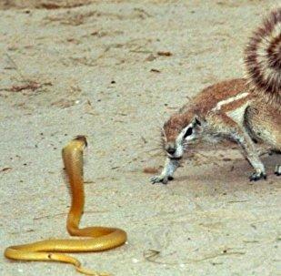 小松树饿急了连蛇都敢吃