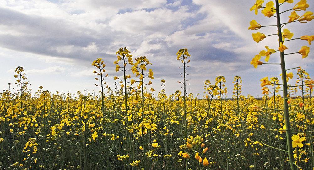 俄伊尔库茨克州增加油菜作物播种面积以实现对华出口