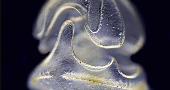 一種只有頭部沒有身體的海洋蠕蟲被發現