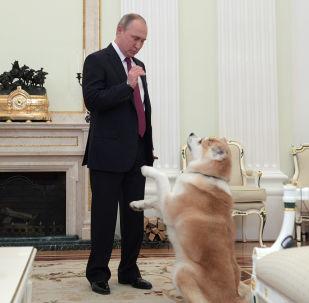 俄羅斯總統弗拉基米爾•普京在正式出訪日本前夕在克里姆林宮接受日本電視台和《讀賣新聞》採訪前與秋田犬「夢」玩耍