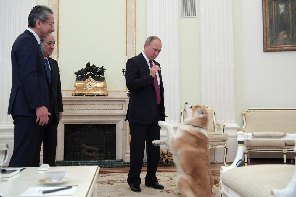 """俄罗斯总统弗拉基米尔•普京在正式出访日本前夕在克里姆林宫接受日本电视台和《读卖新闻》采访前与秋田犬""""梦""""玩耍"""