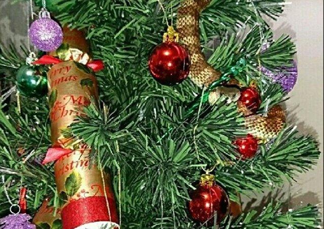 澳大利亚一女子在自家圣诞树上发现毒蛇 盘绕似花环