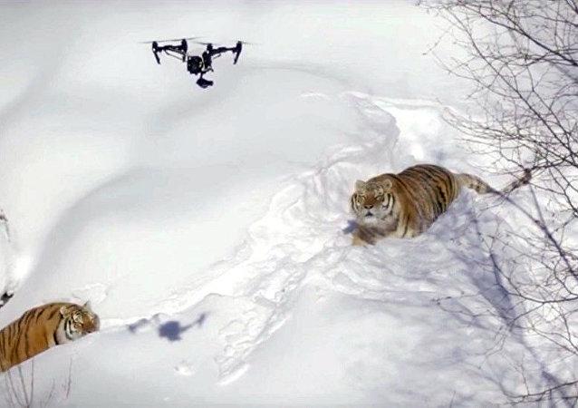 无人机拍下被老虎追赶的画面