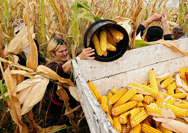 绥芬河跨境企业回运300吨俄罗斯玉米