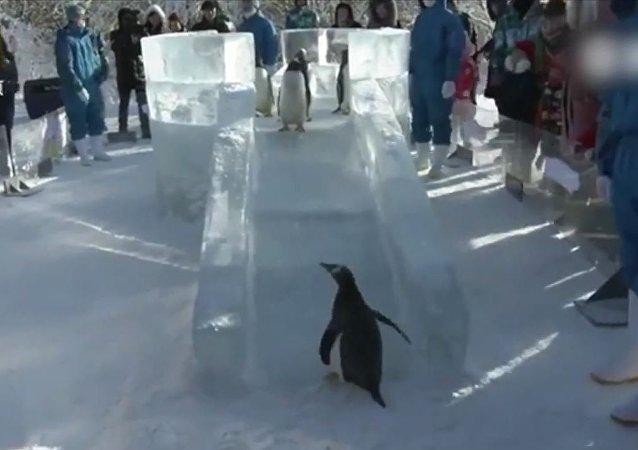 """萌萌哒!哈尔滨极地馆的企鹅在""""学滑冰""""呢"""
