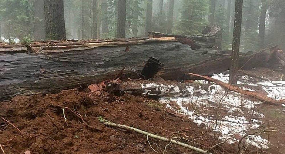 美国带有树洞的一颗大红杉树倒下