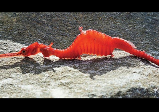 科学家首次拍到罕见的海龙影像