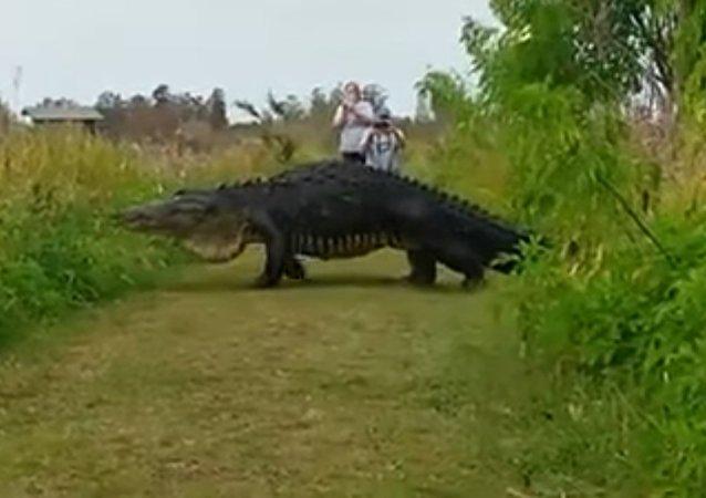 一只巨大的短吻鳄从佛罗里达州国家公园中的镜头前走过