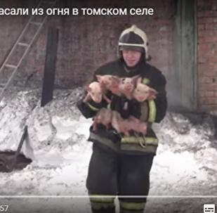 救援人员从燃烧的猪圈中救出了150头猪