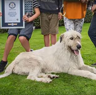 媒体:比利时发现世界上尾巴最长的狗