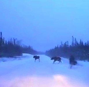加拿大司机风雪路上险遇驼鹿 成功穿行