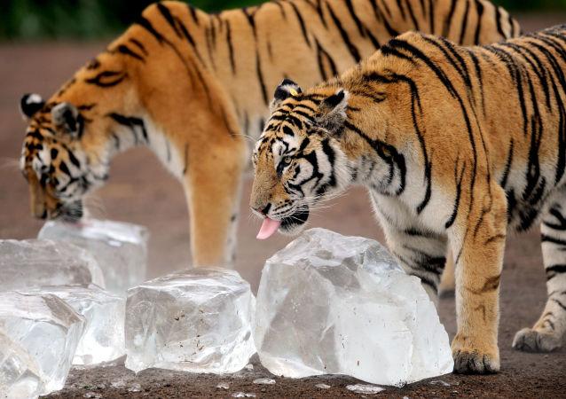 宁波一动物园老虎咬死人