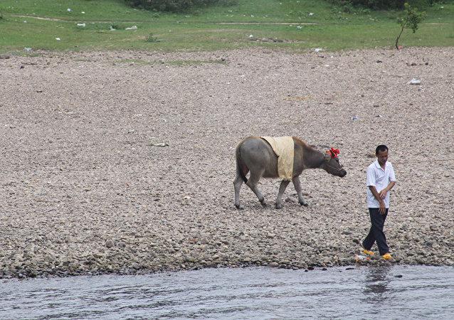中国培育出抗牛肺结核病毒的转基因奶牛