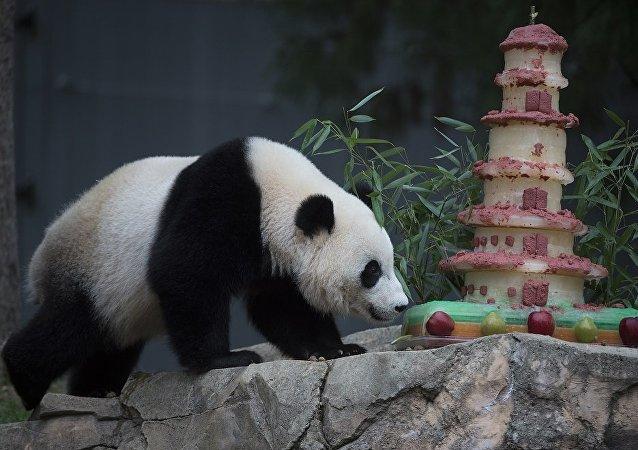 """旅美大熊猫""""宝宝""""2月将离开华盛顿返回中国"""