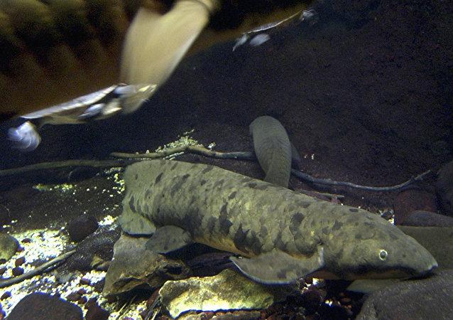 昆士蘭肺魚