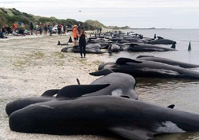 数十头巨头鲸和座头鲸在澳大利亚海岸搁浅