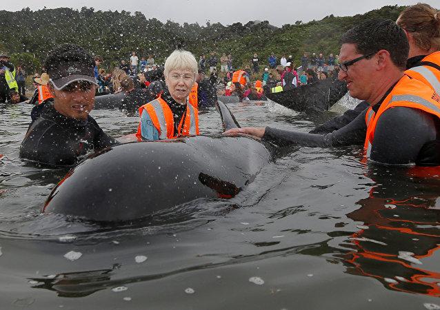 200余只巨头鲸在新西兰海岸搁浅 趁涨潮游走