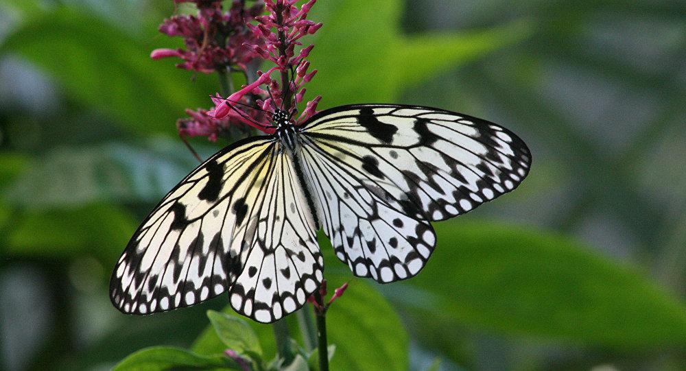 大马科学家首次繁育出世界最大蝴蝶