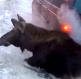 俄罗斯蠢萌麋鹿用汽车排气管取暖
