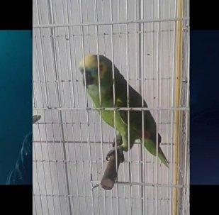 鹦鹉演唱阿姆和蕾哈娜合作歌曲成网红