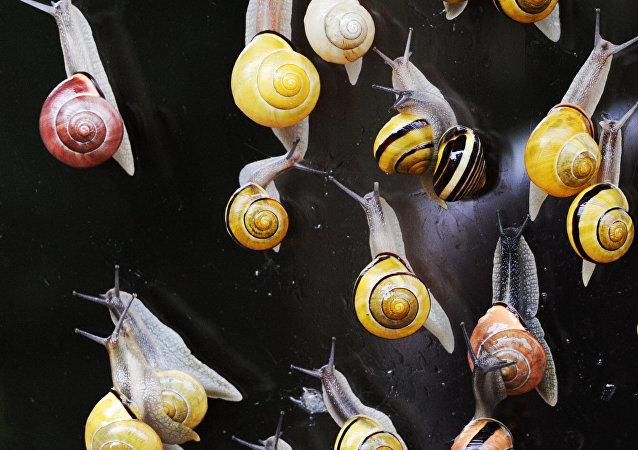 科学家:蜗牛毒液能替代麻醉性镇痛药