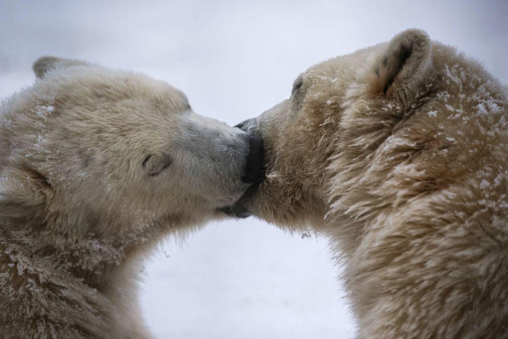 北极熊是世界上最大的陆地生物。