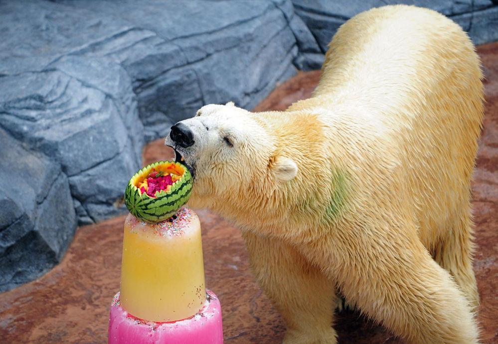 新加坡动物园一只北极熊正在吃冷饮.