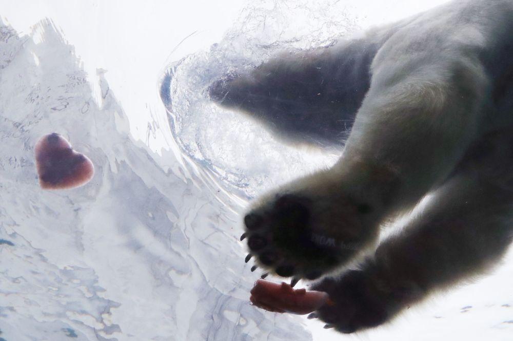 美国底特律动物园一只北极熊扑向心形美食。