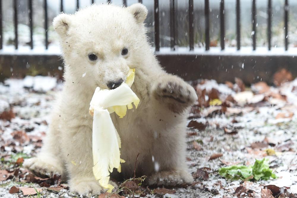 法国米卢斯动物园的小白熊