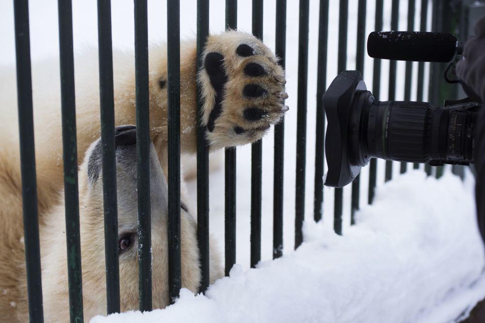 图为瑟乔沃村珍稀物种繁育中心一岁大的小白熊。