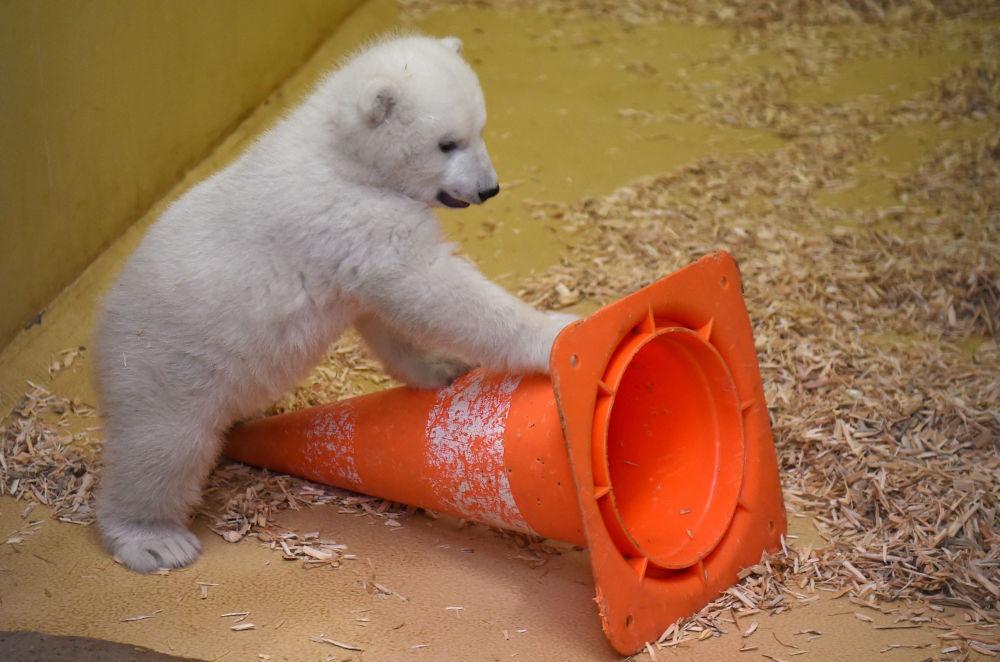 德国动物园的小白熊