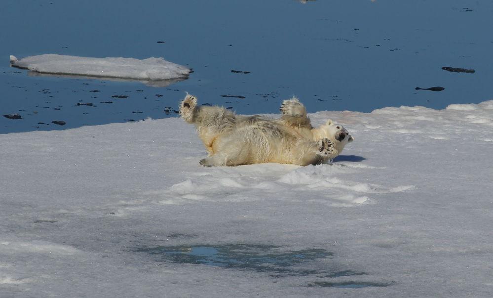法兰士约瑟夫地群岛与北极之间北冰洋水域的一只白熊