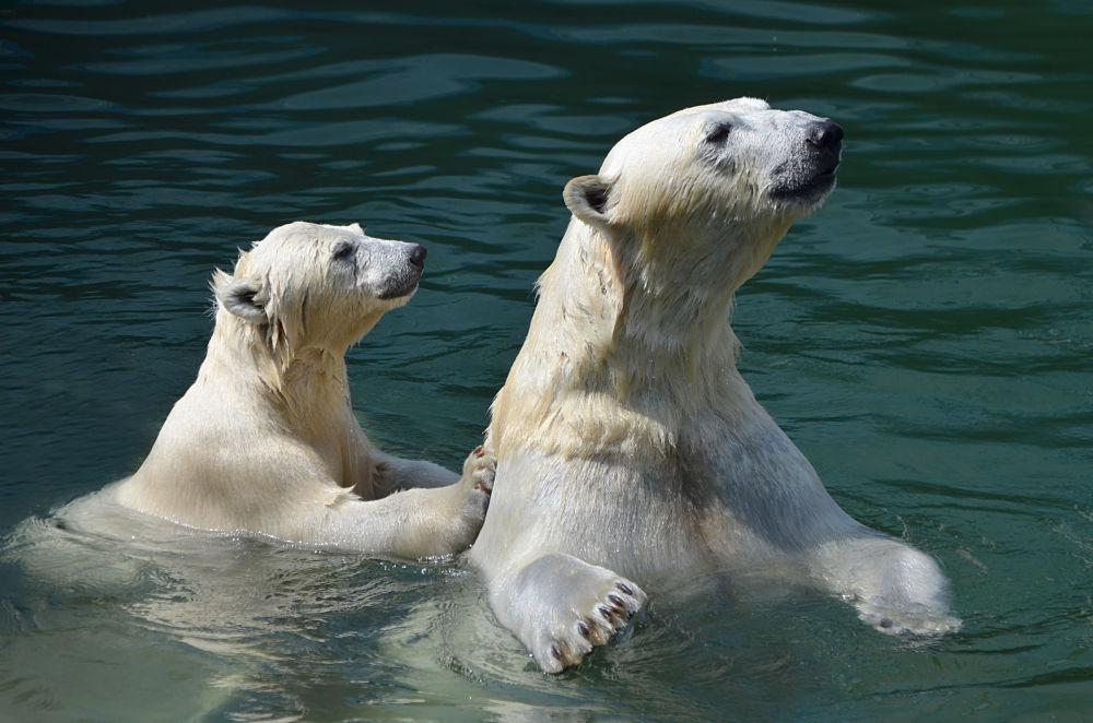 正在游水的北极熊