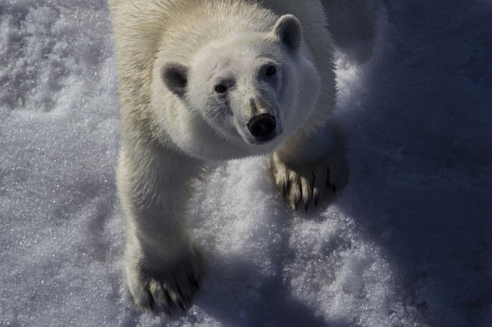俄罗斯从1956年开始全面禁止猎杀北极熊。