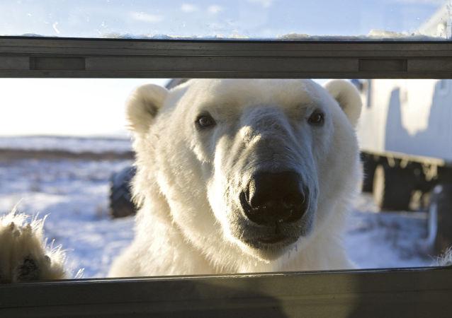 俄罗斯楚科奇因北极熊关闭舞厅