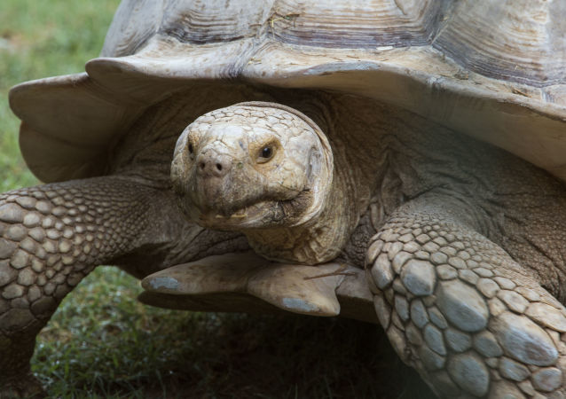 台湾海关查获三只珍稀乌龟  价值近10万美 (资料图片)