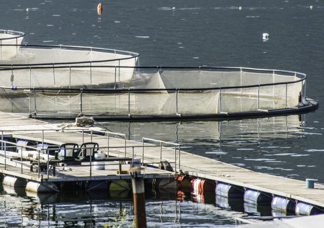 媒体:2017年俄境内将开辟9万公顷渔场用于水产养殖