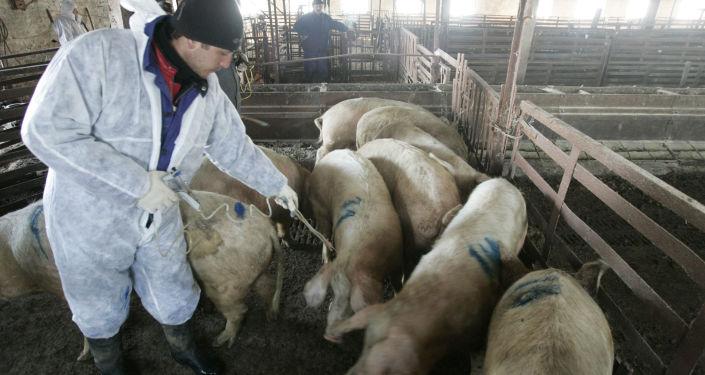 伏爾加格勒州發現第七起非洲豬瘟疫情划定隔離區