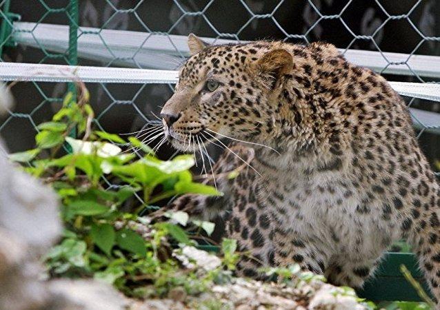 滨海边疆区一过路汽车记录仪拍到地球上最稀有的猫科动物