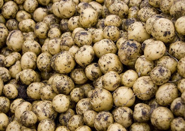 俄中马铃薯生产中心项目开始在西伯利亚落实