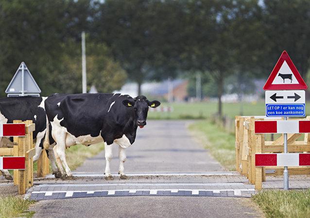 为报复荷兰,土耳其政治家砍下荷兰牛的头颅