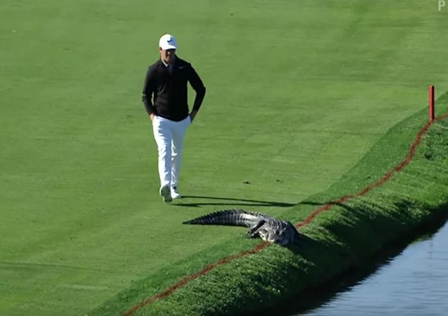 美国高尔夫球运动员比赛时淡定赶鳄鱼(视频)