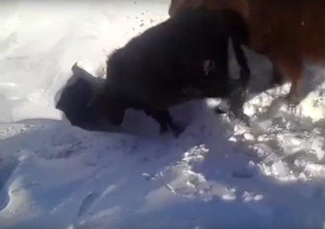 """""""消失""""在雪地里的牛"""
