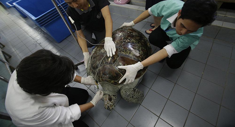 曾吞食915枚硬币的泰国海龟不幸去世