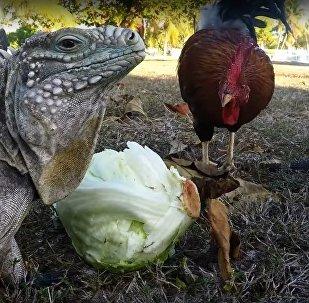 胆大包天!鸡竟与大蜥蜴抢食吃