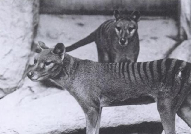澳大利亚发现绝种袋狼踪迹