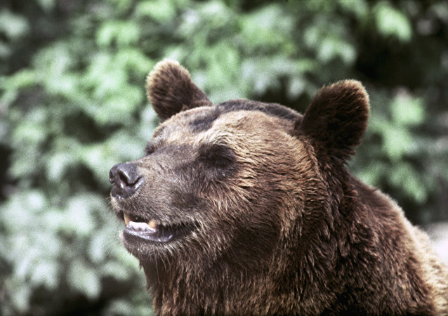 一頭熊在西伯利亞原始森林里偷走獵人的兩支槍