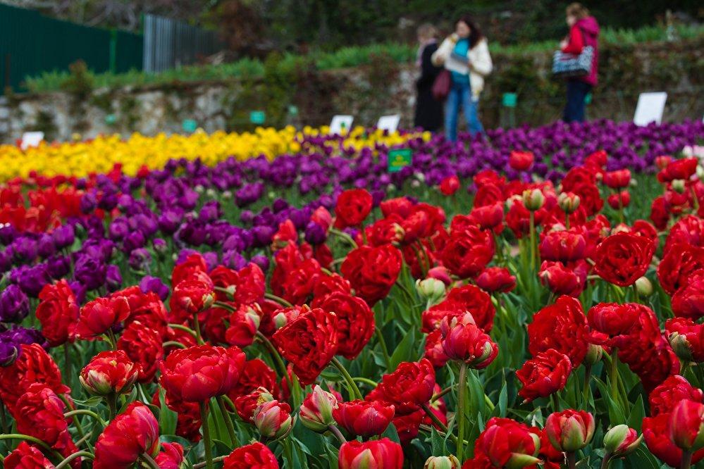 在克里米亚的郁金香花期或可持续到5月中旬。