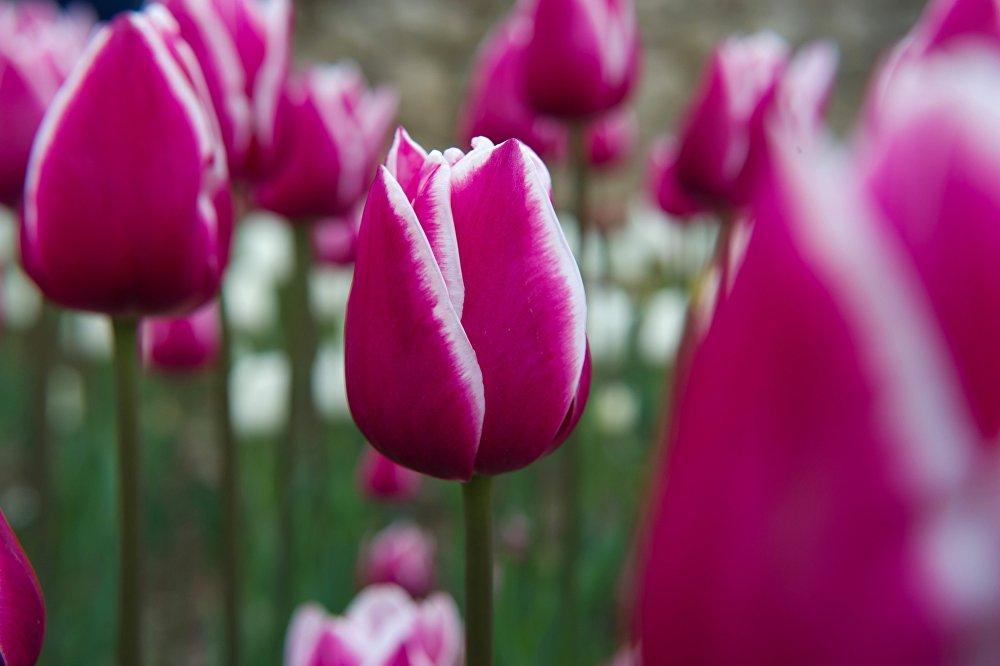 """在克里米亚的尼基塔植物园举办的""""郁金香巡展""""上的郁金香。"""