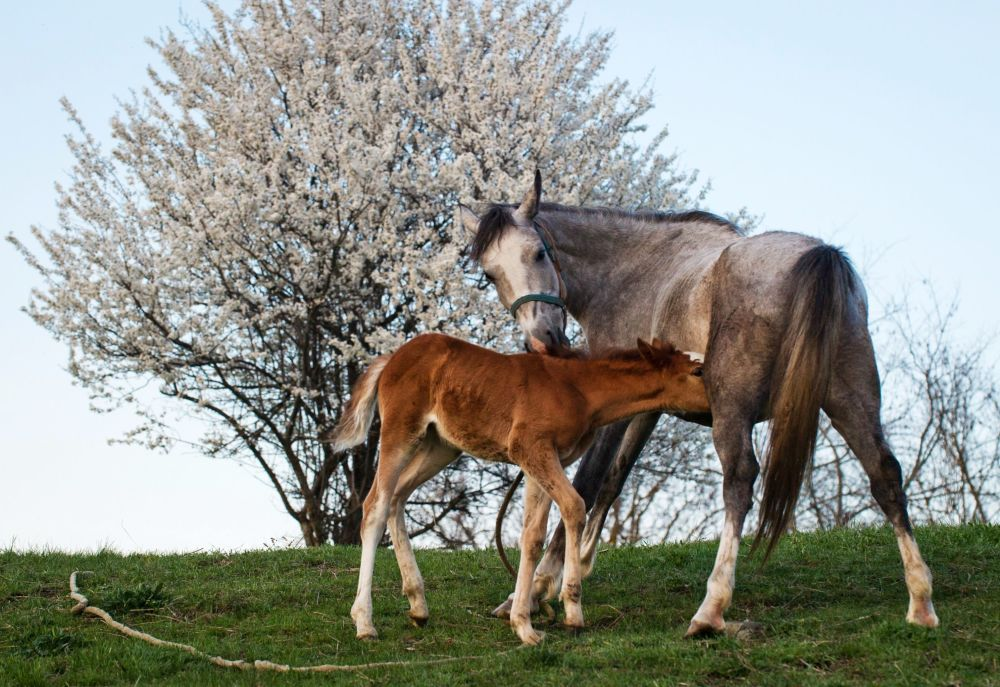 一匹马和一匹小马驹